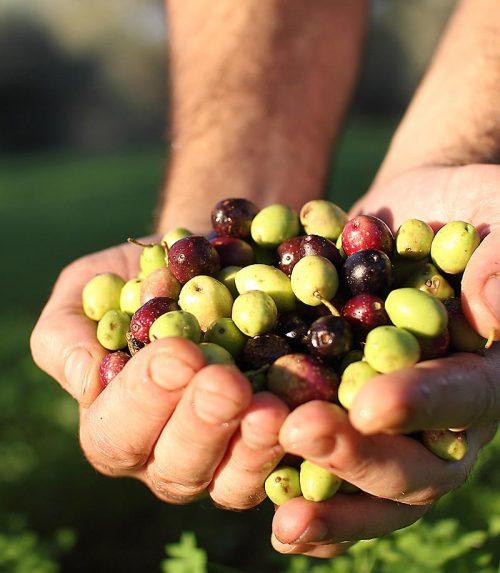 accademia-raccolta-olive
