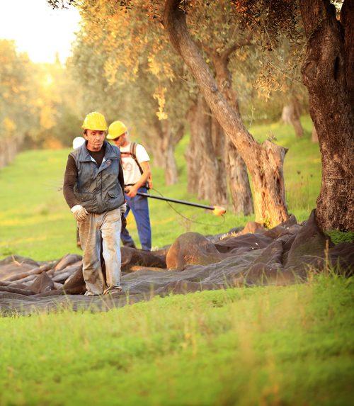 Olives harvest Alghero