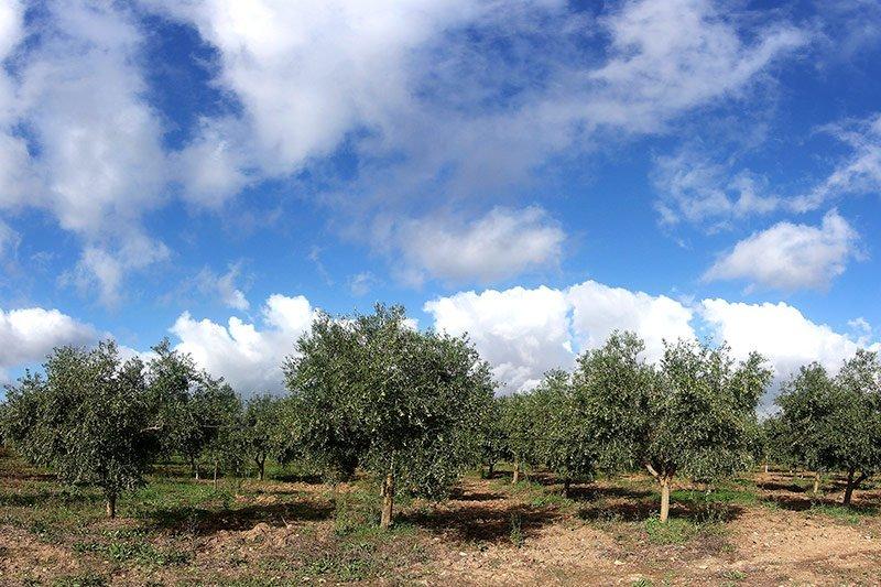 Oliveti Accademia Olearia Alghero Sardegna