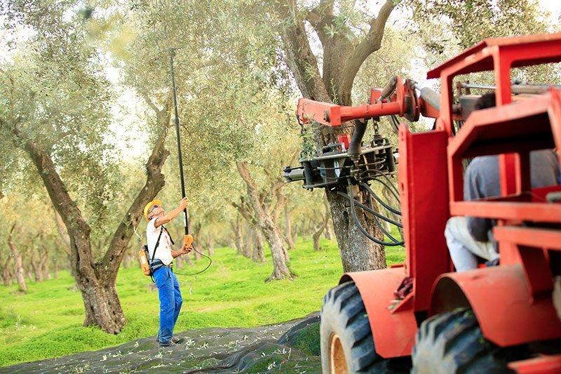 Raccolta olive Accademia Olearia Alghero Sardegna