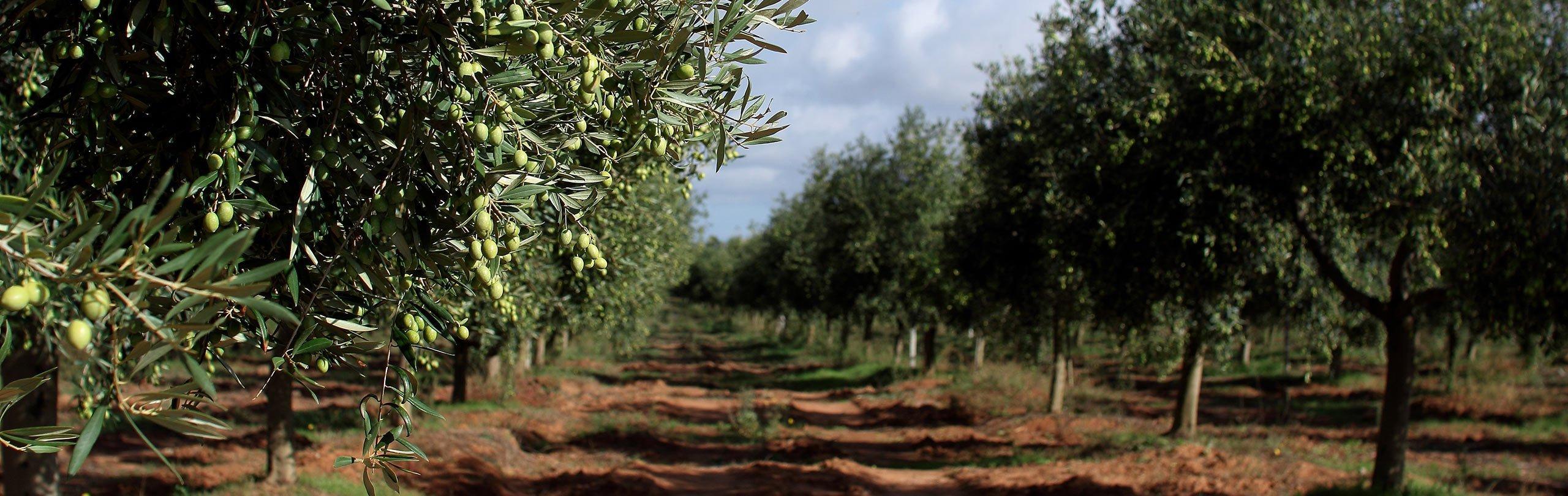 Tenute Fois Accademia Olearia Alghero Sardegna